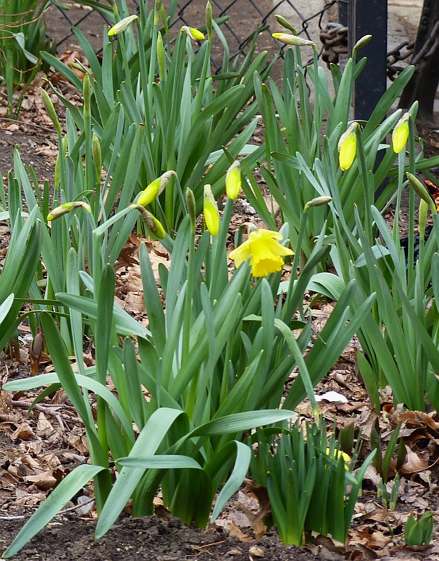 Early Daffodils Feb 19