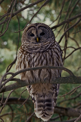 Barred Owl at Malheur NWR