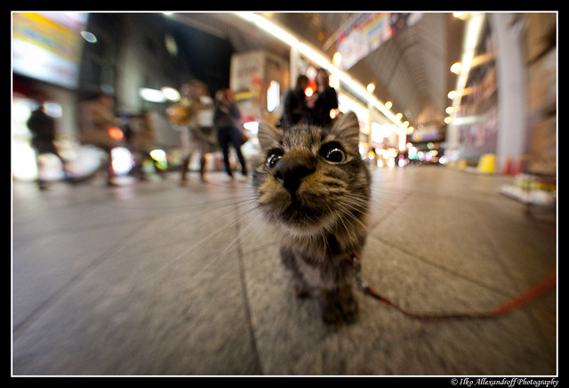 Cute japanese pussy cat close up with fish eye on a leash for Fish on a leash