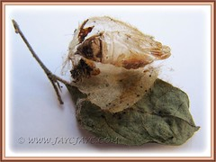 Cocoon with exoskeleton (?) of Olene mendosa (Brown Tussock Moth)