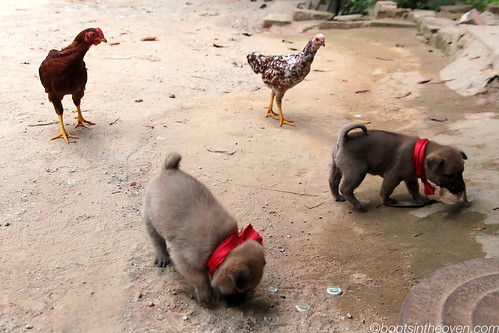 In Huế, each puppy gets its own chicken