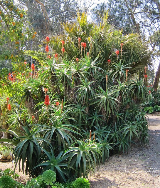 Aloe aborescens