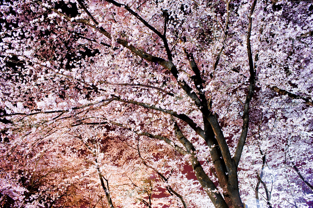 暗花 sakura