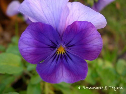 DSCN2928 - blog_viola tricolor