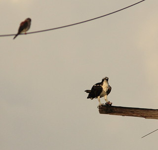 Osprey and kestrel 20120310