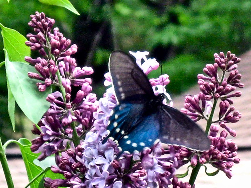 pipevine_swallowtail_01(4-27-12)