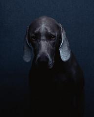 [フリー画像素材] 動物 1, 犬・イヌ, ワイマラナー ID:201203151000
