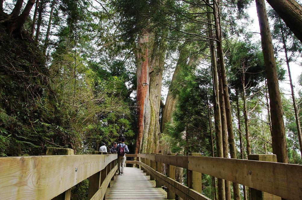 觀霧巨木步道-050