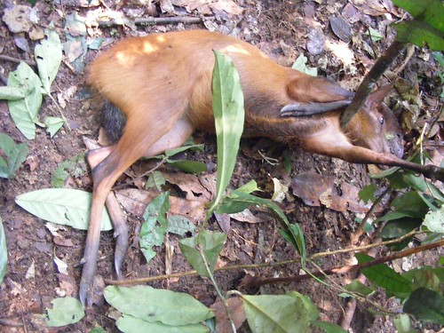 red duiker - black fronted_ in snare