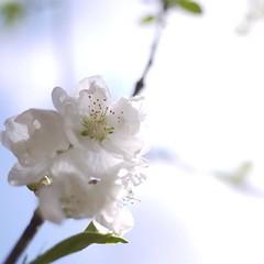 お花をあげましょ桃の花。昨日は旧暦のひな祭り。#桃
