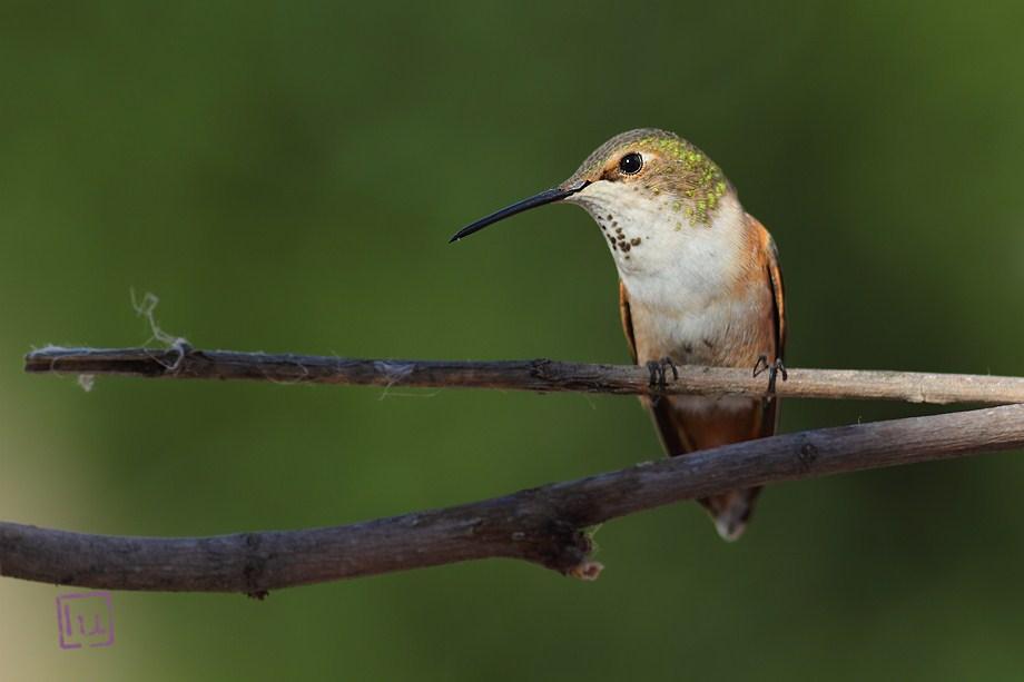 Allen's Hummingbird 041612-3