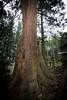 Photo:#25 The Giant Cryptomeria of Kumano Shrine By Mullenkedheim