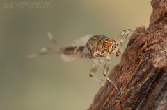 Minnow mayfly nymphs (Ephemeroptera, Baetidae)