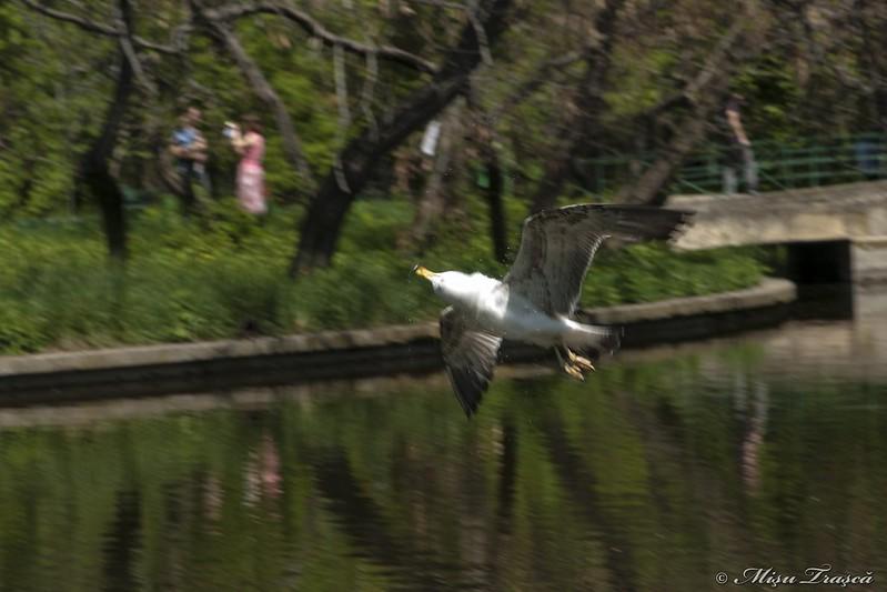 în zbor /  flying