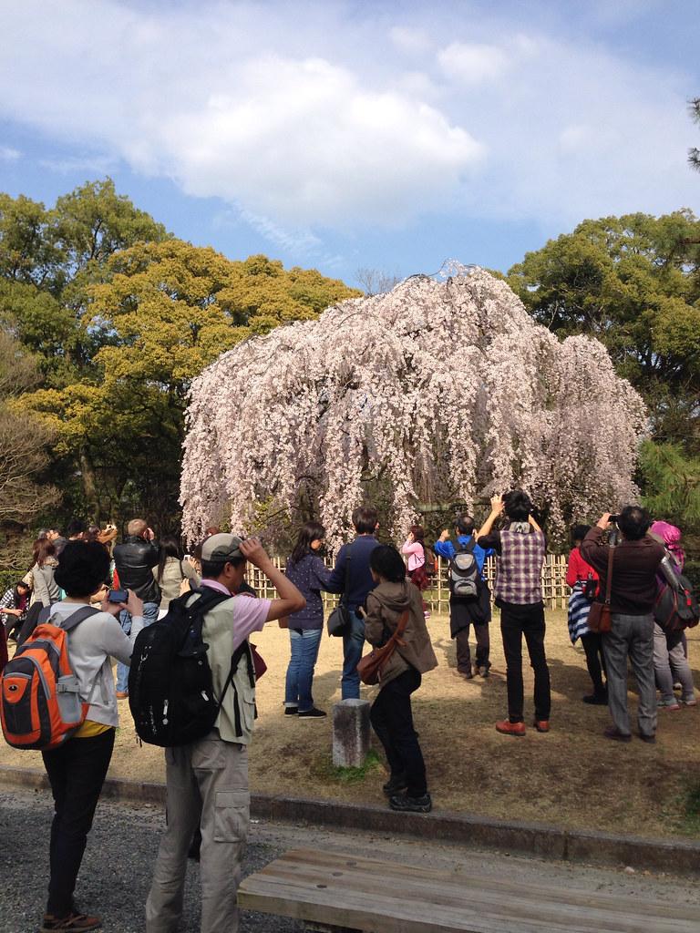 京都御苑枝垂れ桜