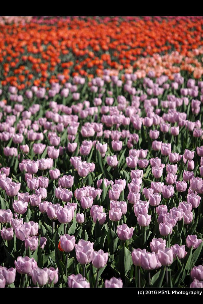 Ottawa Tulip Pre-Festival