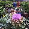 Beautiful artichoke at @portlandnursery !