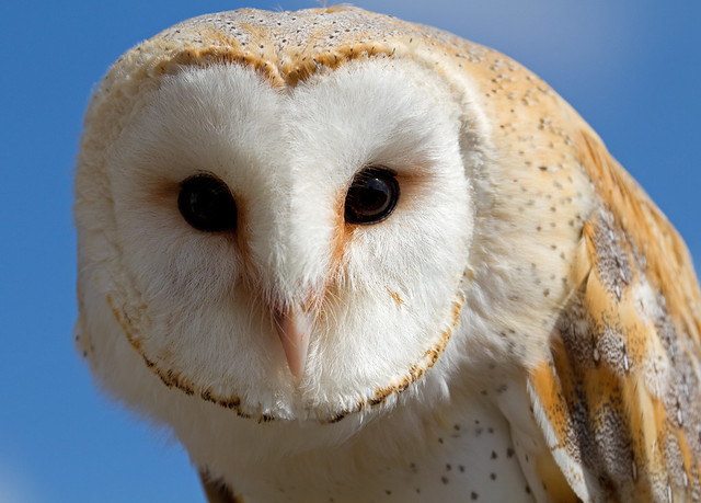 Female Barn Owl 1