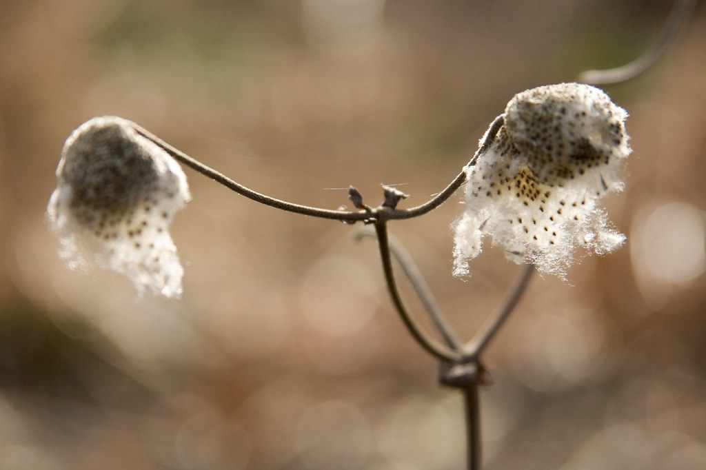 anemone seed head  1280