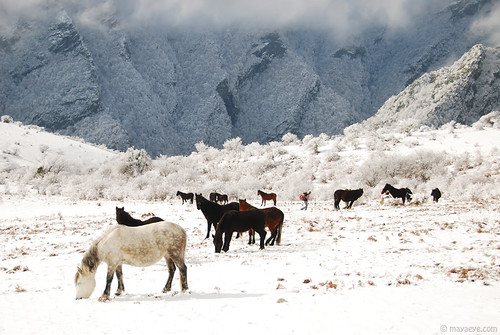 walking among mustang herd