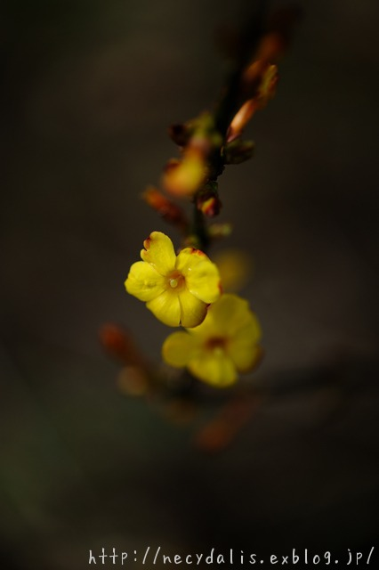 オウバイ [Jasminum nudiflorum]...
