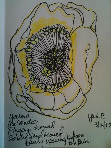 Yellow Icelandic Poppy