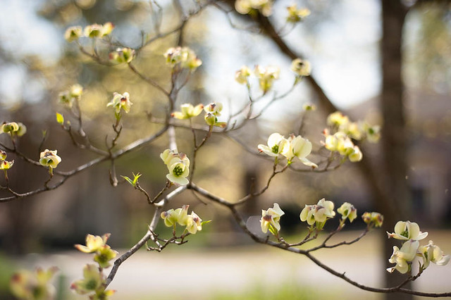 Spring 2012 Dogwood Blooms
