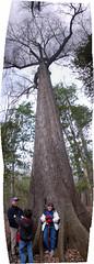 Cherrybark Oak