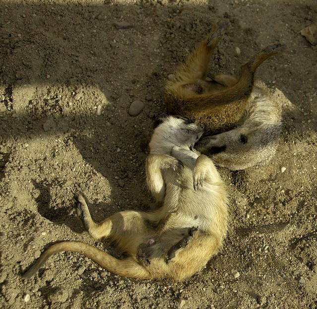 Slender Tailed Meerkat WLD_7116