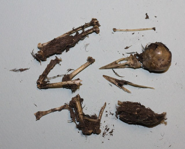 Bird Skeleton found in Owl Pellet