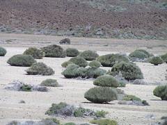 Génet du Teide