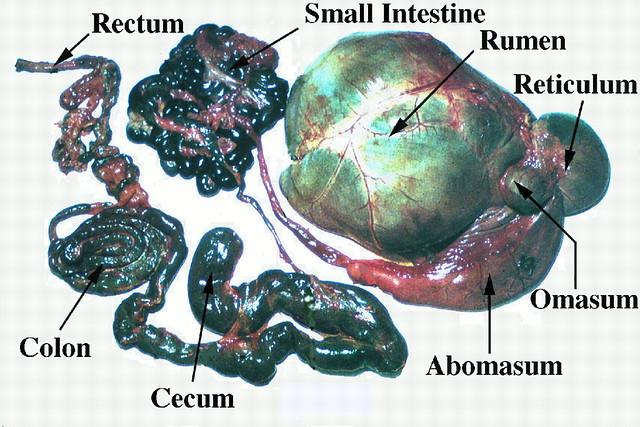 反芻動物的胃