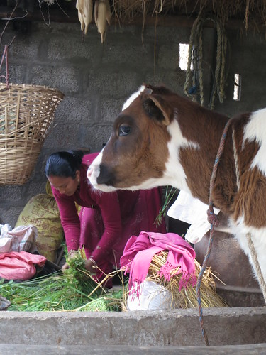 Nimala Bogati feeds her cows in Nepal