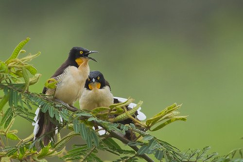Japacanim (Black-capped Donacobius)