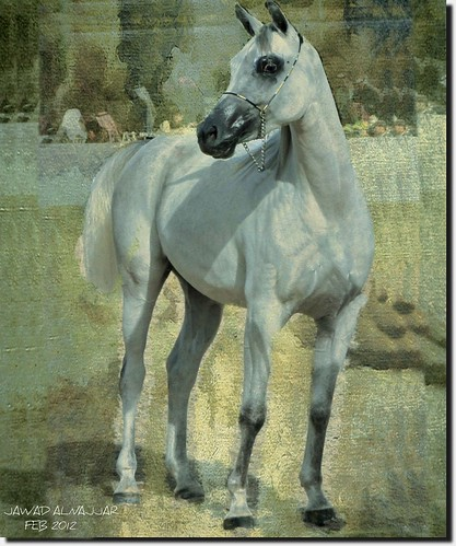 THE ARABIAN WHITE HORSE-9