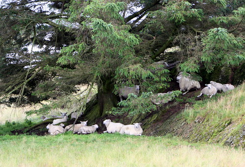 Relaxing sheep....