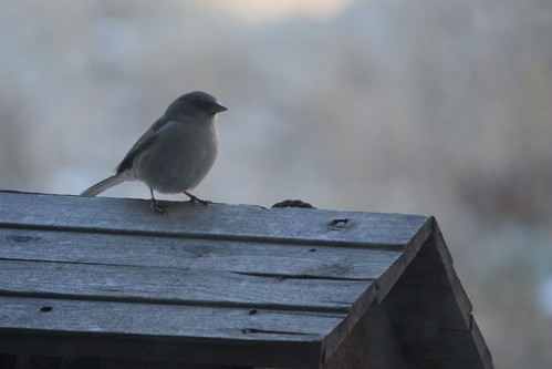 Junco at the feeder