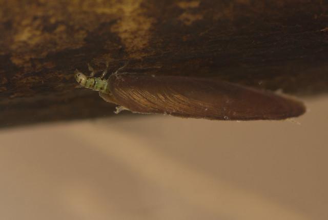 Micro caddisfly larva Agraylea multipunctata 6 edited
