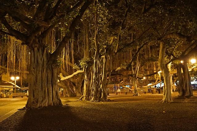 Maui, Hawaii Lahaina, Banyan Tree