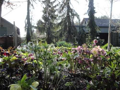 Hellebores in the garden with conifers in back