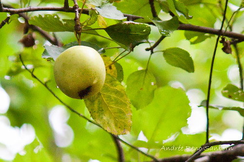 Wild Apple up the mountain-1.jpg