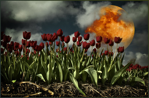Tulips and Moonlight
