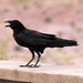 Small photo of Caw