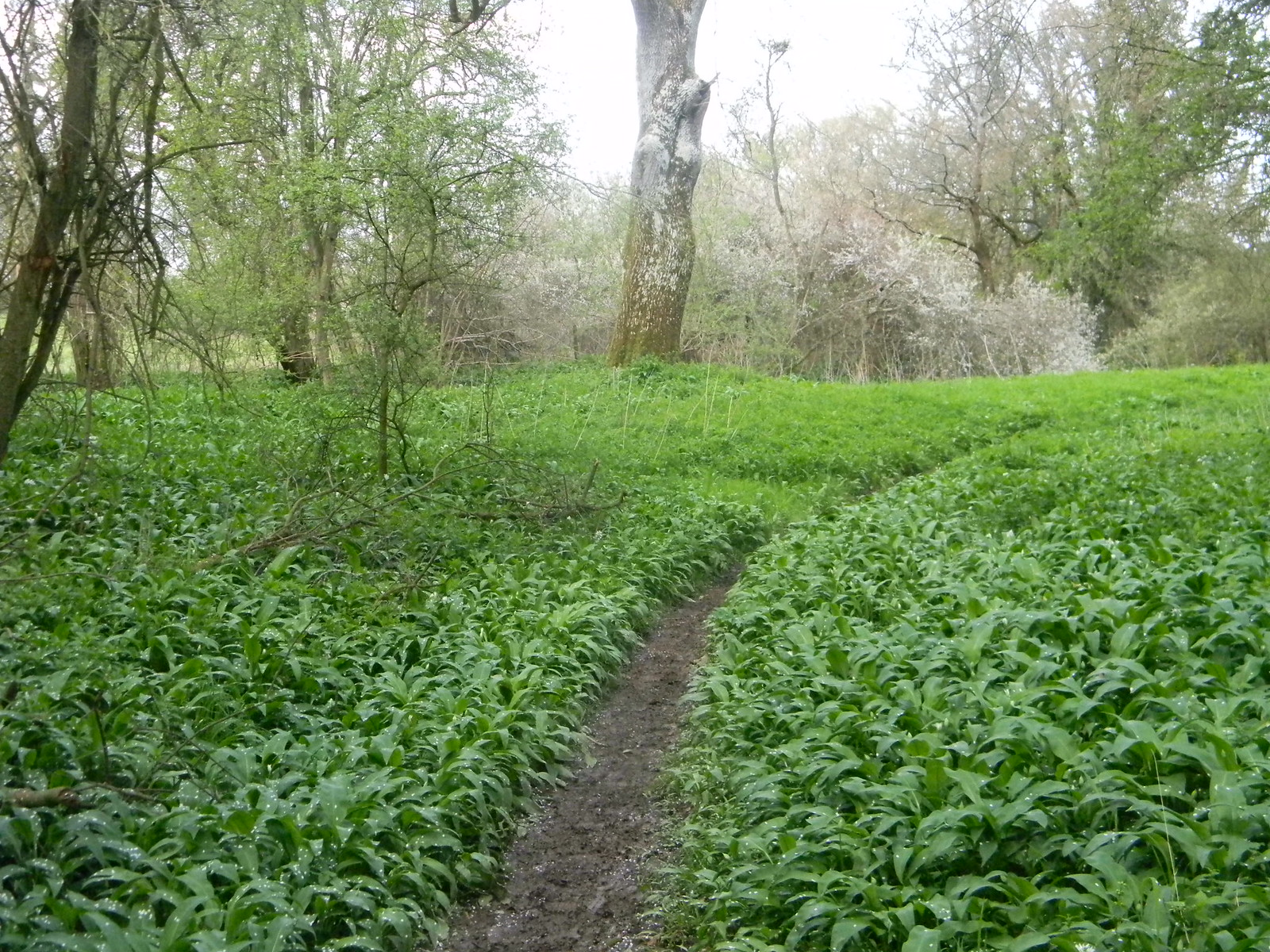 Wild Garlic Ockley to Warnham