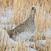 1203_0203 Sharp-tailed Grouse