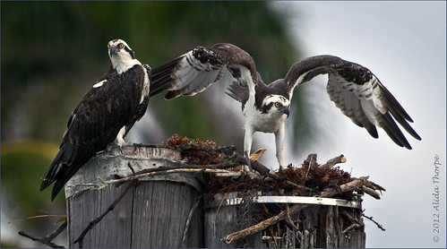 osprey pair by Alida's Photos