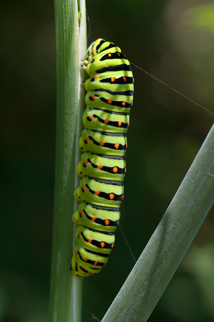 swallowtail caterpillar_