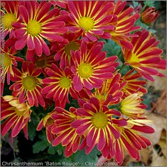 Chrysanthemum 'Baton Rouge' - Chryzantema  'Baton Rouge'
