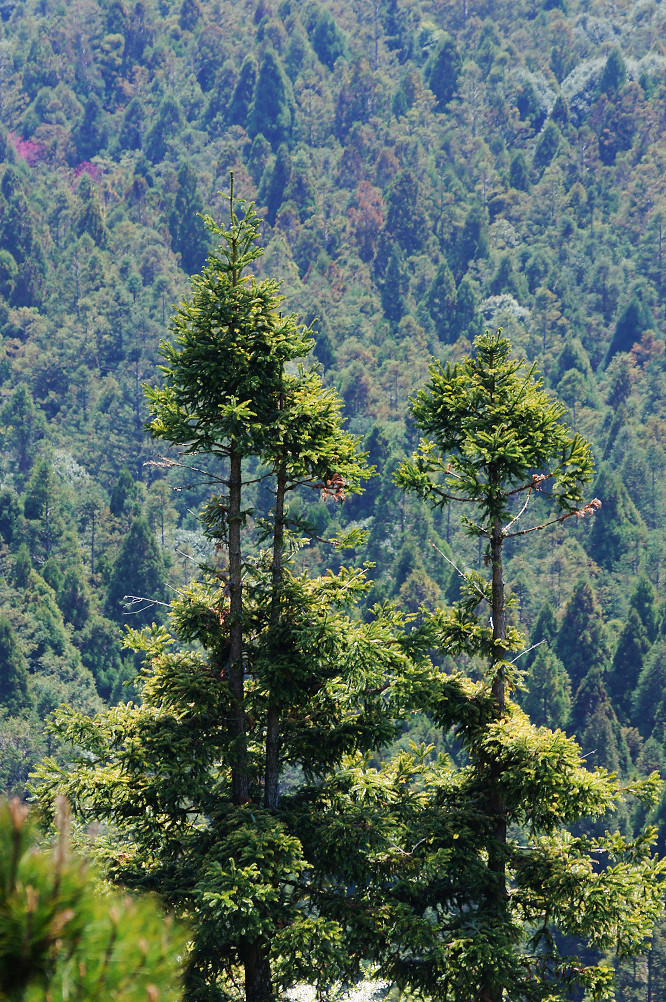 觀霧巨木步道-011
