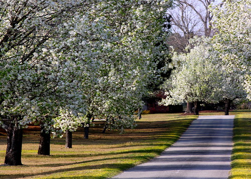 trees white flower canon landscape evening spring northcarolina driveway allee bradfordpear newbern t1i